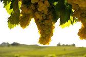 Vineyard one — Stock Photo