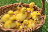 Ducks group — Stock Photo