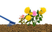 Planting flowers three — Stock Photo