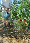 Tomatoes garden five — Stock Photo