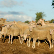 Sheep manure — Stock Photo