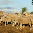 Stock Photo: Sheep manure