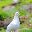 Dove witht — Stock Photo