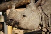 Nashorn — Stockfoto