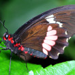 Schmetterling — Stock Photo