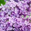 Lilac flower field — Stock Photo