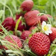 Strawberry fruit in the field — Stock Photo #10632132
