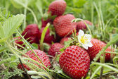 Strawberry fruit in the field — Stock Photo