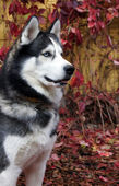 Husky is worth attention — Stock Photo