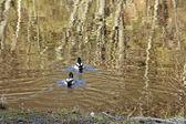 Duck lake — Stock Photo