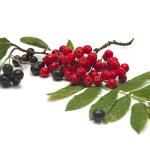 Рябина красная и черноплодная — Stock Photo