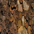 Sycamore bark — Stock Photo