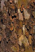 Sycamore bark — Stock Photo