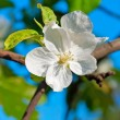 Stock Photo: Apple Trees Flower