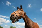 Grama de mastigação de cavalo — Fotografia Stock