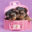 Yorkshire terrier puppies — Stock Photo #9031721