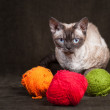 Stock Photo: Devon Rex cat