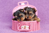 Yorkshire terrier puppies — Stock Photo
