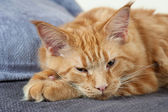 Maine Coon cat — Stock Photo