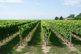 Vineyard — Stock Photo