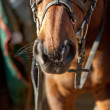 Stock Photo: Nostrils of horse harness