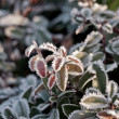 Frozen leaves in morning — Stock Photo #8100693