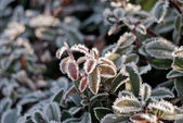 Frozen leaves in the morning — Stock Photo