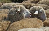 Ovelhas no rebanho — Fotografia Stock