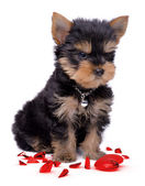 Yorkshire terrier puppy broken heart — Stock Photo