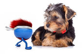 Yorkshire terrier looking at running ball — Stock Photo
