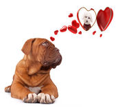 Dog Bordeaux inlove — Stock Photo