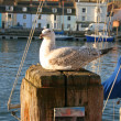 Juvenile Herring gull. — Stock Photo