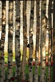 Birch fence — Stock Photo