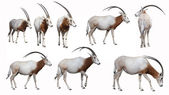 Scimitar Oryx — Stock Photo