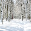 Stock Photo: Beautiful April Birch Grove