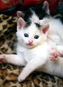 White funny kitten with blue eyes — Stock Photo