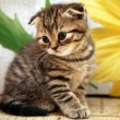 Striped scottish fold kitten on flower background — Stock Photo