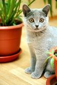 Curious funny british kitten — Stock Photo