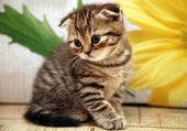 Striped scottish fold kitten on flower background — Stock Photo