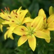 Yellow lilies on green background — Stock Photo