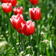 Beautiful red tulips closeup — Stock Photo