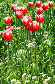 Beautiful tulips on green grass background — Photo