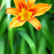 Orange lily on green background in the garden - Photo