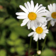 Daisies — Stock Photo #8039172