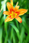 Orange lily on green background in the garden — Stock Photo