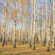 Autumn birch grove in sunlight — Stock Photo
