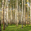 Birch Grove in early autumn — Stock Photo