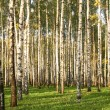 Birch Grove in early autumn — Stock Photo #8685056