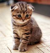 Lustige neugierig scottish fold kätzchen im spiel — Stockfoto