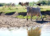 Cow Livestock — Stock Photo